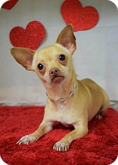 Chihuahua Mix Dog for adoption in Dublin, California - Dolley