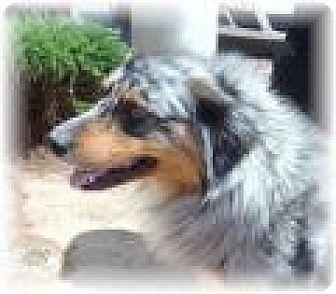 Australian Shepherd Dog for adoption in Las Vegas, Nevada - Brodie
