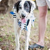 Adopt A Pet :: Sebastian - Houston, TX