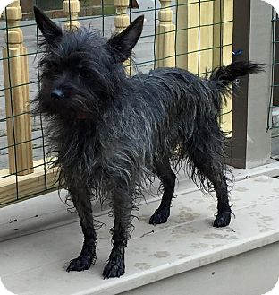 Cairn Terrier/Yorkie, Yorkshire Terrier Mix Dog for adoption in Sharon Center, Ohio - Mia