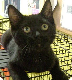 Domestic Shorthair Kitten for adoption in Knoxville, Iowa - Jed
