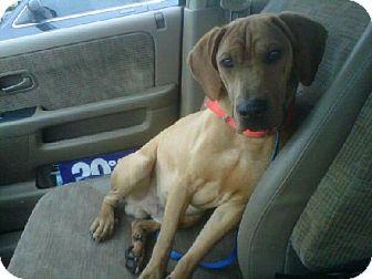 Rhodesian Ridgeback Mix Dog for adoption in Rockville, Maryland - Romeo