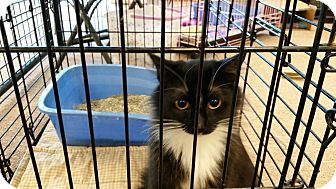 Domestic Mediumhair Cat for adoption in Maryville, Tennessee - Lesa
