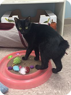 Domestic Shorthair Cat for adoption in Byron Center, Michigan - Jelly Bean