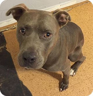 Pit Bull Terrier Mix Dog for adoption in Newcastle, Oklahoma - Everest X