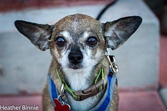 Chihuahua Mix Dog for adoption in Tucson, Arizona - Tiki