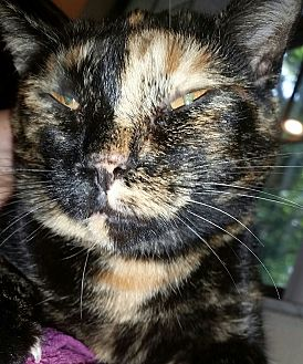 Calico Cat for adoption in Ocala, Florida - Squeeky aka Nina