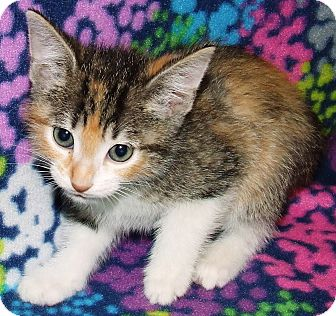 Domestic Shorthair Kitten for adoption in Watauga, Texas - Sassy