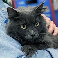 Domestic Mediumhair Cat for adoption in St. Louis, Missouri - Autumn