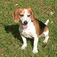Beagle Dog for adoption in Palm Bay, Florida - Rocky