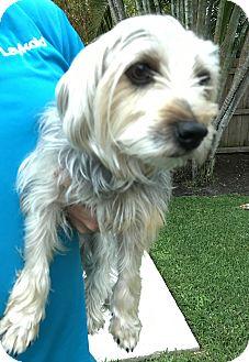 Yorkie, Yorkshire Terrier Dog for adoption in Boynton Beach, Florida - Honey