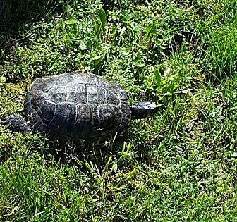Turtle - Other for adoption in Patterson, New York - Dominick