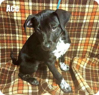 Labrador Retriever Mix Puppy for adoption in Yreka, California - Ace