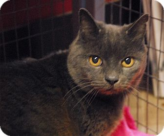 Russian Blue Cat for adoption in Winchendon, Massachusetts - Baby Boop