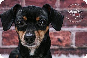 Dachshund/Chihuahua Mix Dog for adoption in Cincinnati, Ohio - Clyde