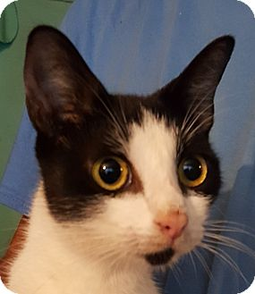 Domestic Shorthair Cat for adoption in Colonial Heights, Virginia - Aurora