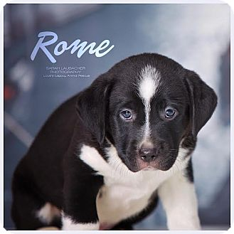 Labrador Retriever Mix Puppy for adoption in Cincinnati, Ohio - Rome