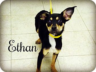 Terrier (Unknown Type, Small) Mix Dog for adoption in Defiance, Ohio - Ethan
