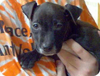 Pit Bull Terrier Puppy for adoption in Harriman, Tennessee - Madea