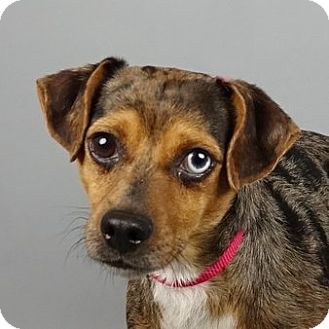 Chihuahua/Dachshund Mix Dog for adoption in Columbia, Illinois - Ben
