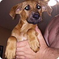 Shepherd (Unknown Type)/Irish Setter Mix Puppy for adoption in Raleigh, North Carolina - Brock