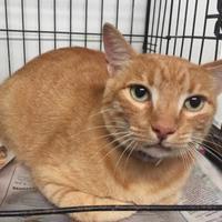 Adopt A Pet :: Orange Julius - Clarkesville, GA