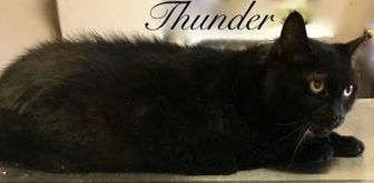 Domestic Shorthair/Domestic Shorthair Mix Cat for adoption in Port Hope, Ontario - Thunder
