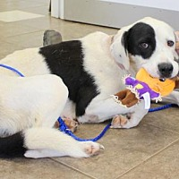 Adopt A Pet :: Cookie - Mocksville, NC