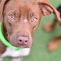 Adopt A Pet :: Bourbon - San Francisco, CA