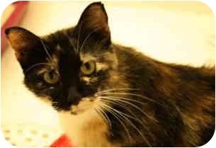 Calico Cat for adoption in Vinton, Iowa - Anika
