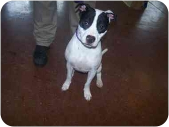 American Bulldog Mix Dog for adoption in Shelbyville, Kentucky - Bandit