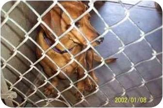 Dachshund Mix Dog for adoption in Sedona, Arizona - Shayleigh