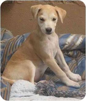 Labrador Retriever Mix Puppy for adoption in Poway, California - SWEET PEA