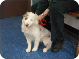 "Australian Shepherd/Great Pyrenees Mix Puppy for adoption in MARION, Virginia - ""Sophie"""