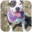 Photo 4 - Pit Bull Terrier Dog for adoption in Huntington, New York - Blossom