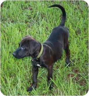 Labrador Retriever Mix Puppy for adoption in Largo, Florida - CLEO