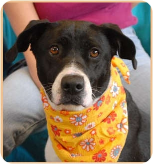 Border Collie/Labrador Retriever Mix Dog for adoption in Las Vegas, Nevada - Aloha