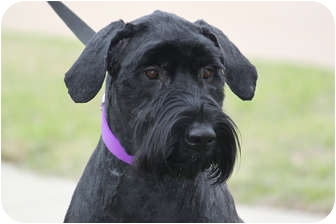 Schnauzer (Giant) Mix Dog for adoption in McKinney, Texas - Callie