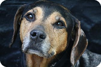 Hound (Unknown Type) Mix Dog for adoption in Anderson, Indiana - Xena