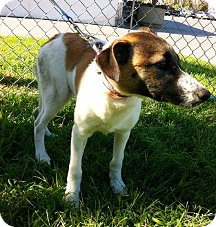 Australian Cattle Dog Mix Puppy for adoption in Irvine, California - MAGGIE