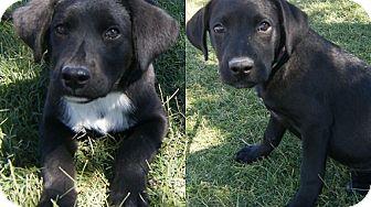 Labrador Retriever Mix Puppy for adoption in Alamogordo, New Mexico - Ninja & Julian