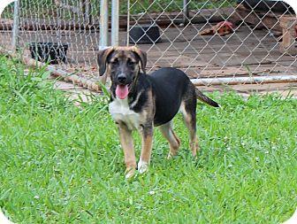 Beagle/Hound (Unknown Type) Mix Puppy for adoption in Windham, New Hampshire - Chrysanthemum