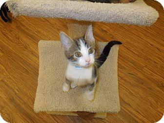Domestic Shorthair Kitten for adoption in Medina, Ohio - Silas