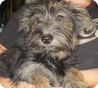 Scottie, Scottish Terrier Mix Puppy for adoption in Greenville, Rhode Island - Edgar