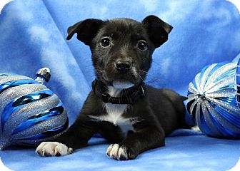 Boxer Mix Puppy for adoption in Westminster, Colorado - Stark