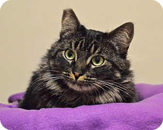 Maine Coon Cat for adoption in Encino, California - SWEET PEA