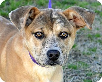 Catahoula Leopard Dog/Terrier (Unknown Type, Medium) Mix Dog for adoption in Searcy, Arkansas - Sierra