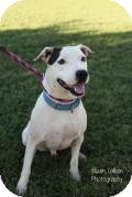 Pit Bull Terrier/Labrador Retriever Mix Dog for adoption in Gilbert, Arizona - PIPPY