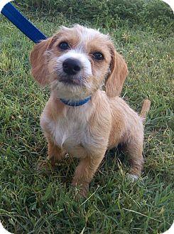 Terrier (Unknown Type, Small) Mix Puppy for adoption in Manhattan, Kansas - Jonah