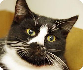 Domestic Shorthair Cat for adoption in Daytona Beach, Florida - Amber